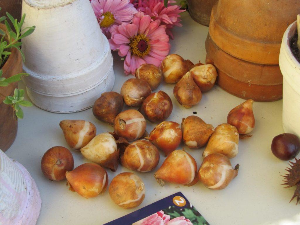 jesenja-sadnja-lukovica