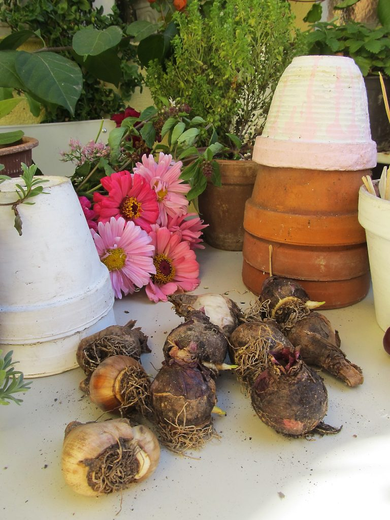 vodič za sadnju jesenjih lukovica