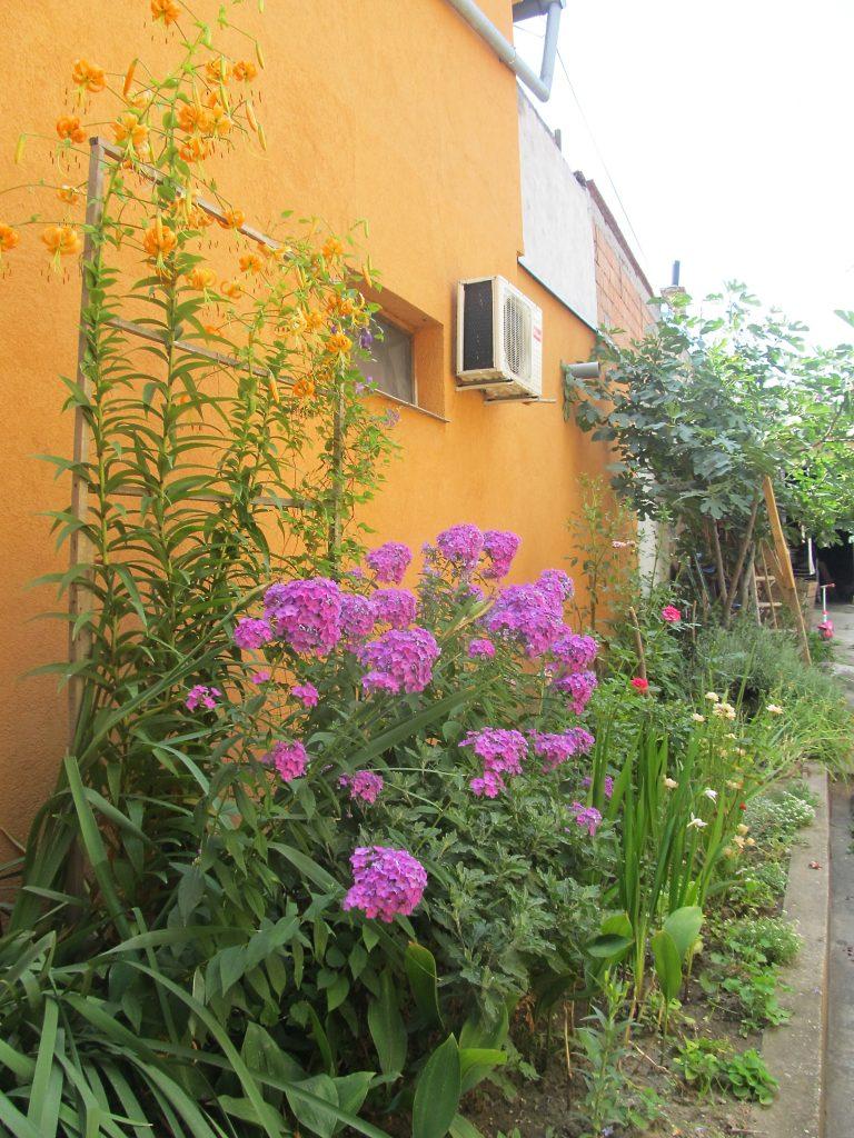 liljan sadnja i nega