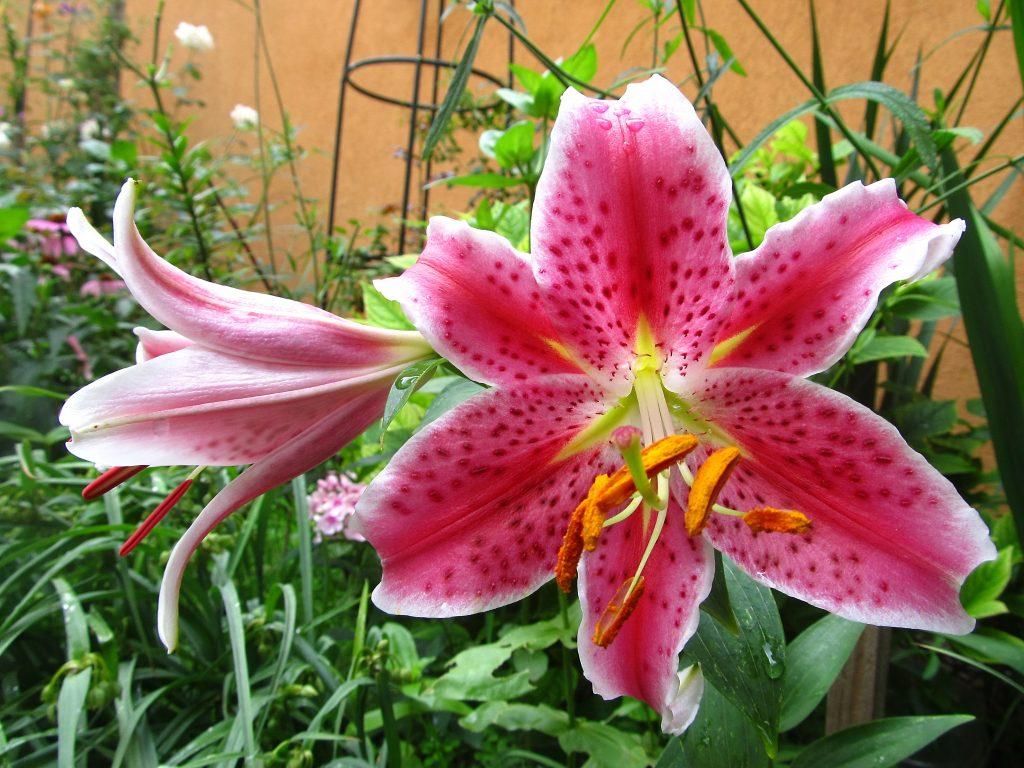 Višegodišnje cveće u saksiji