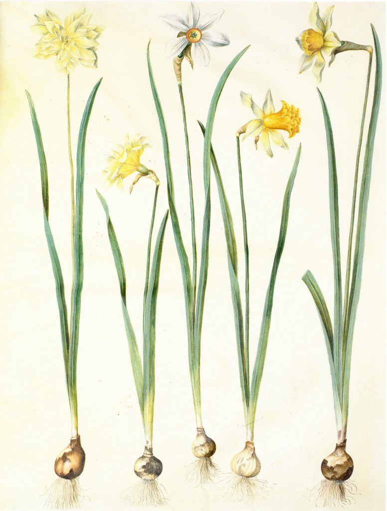 Narcis Istorija jednog cveta