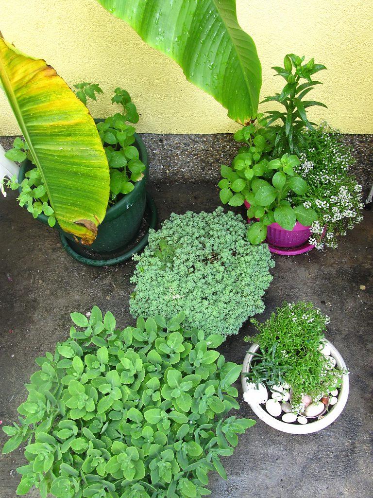 višegodisnje cveće u saksisijama