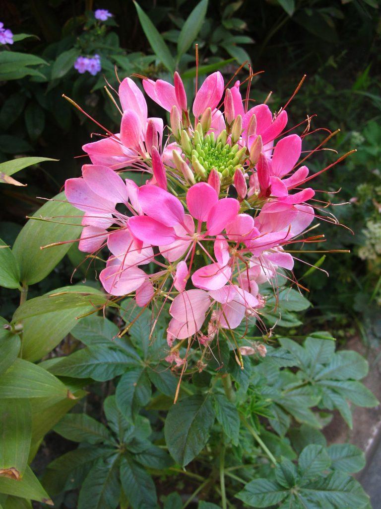 Kleoma roze