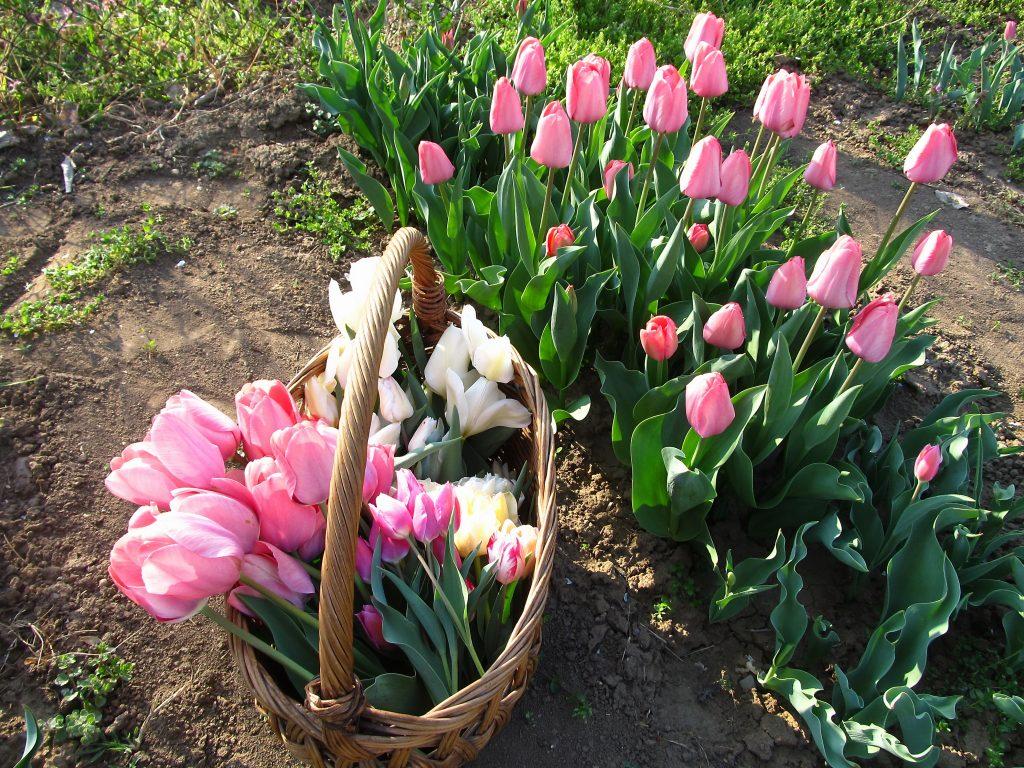 lale u mojoj aprilskoj bašti