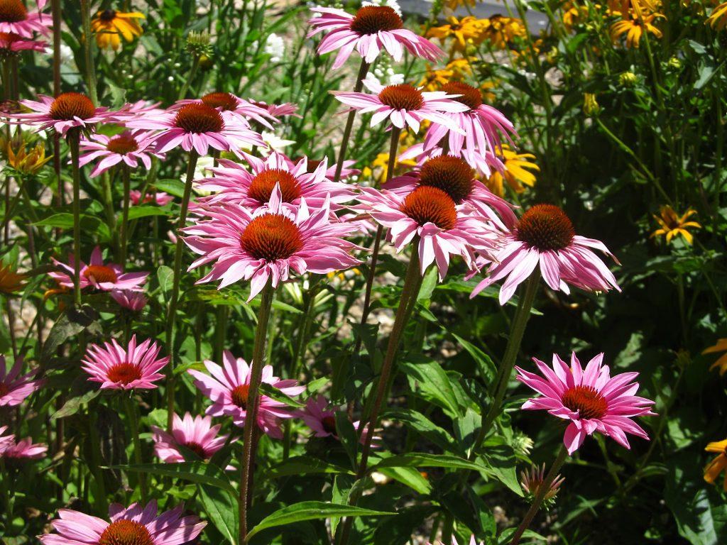 cveće koje je otporno na sušu