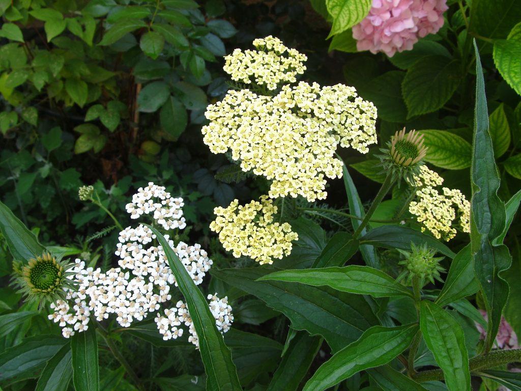 cveće otporno na sušu