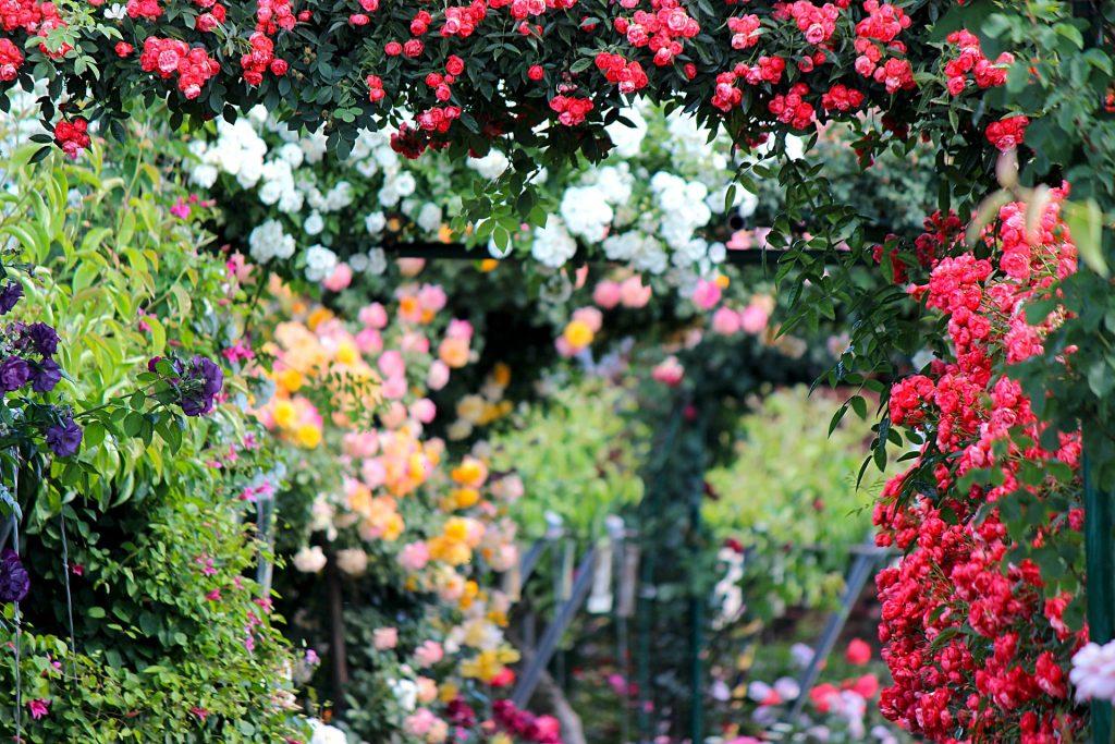 ruže pergola