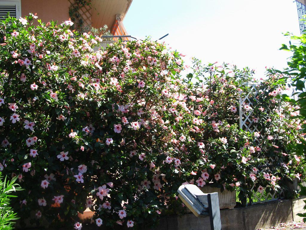 cveće Sicilije
