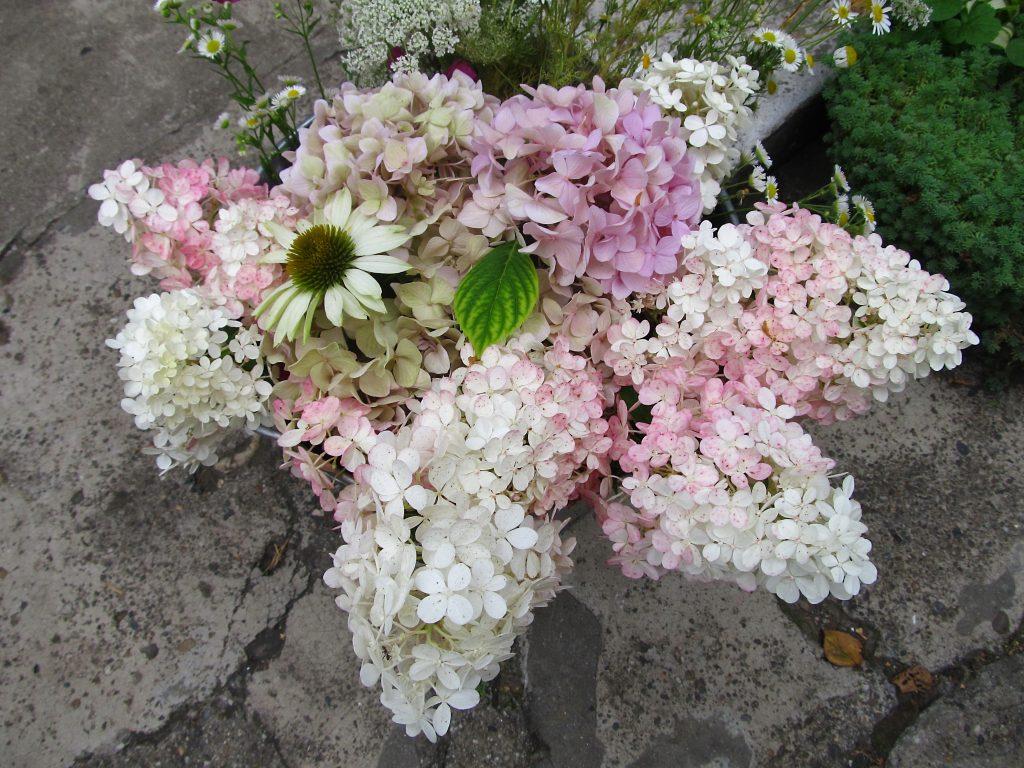 hortenzija-vanila