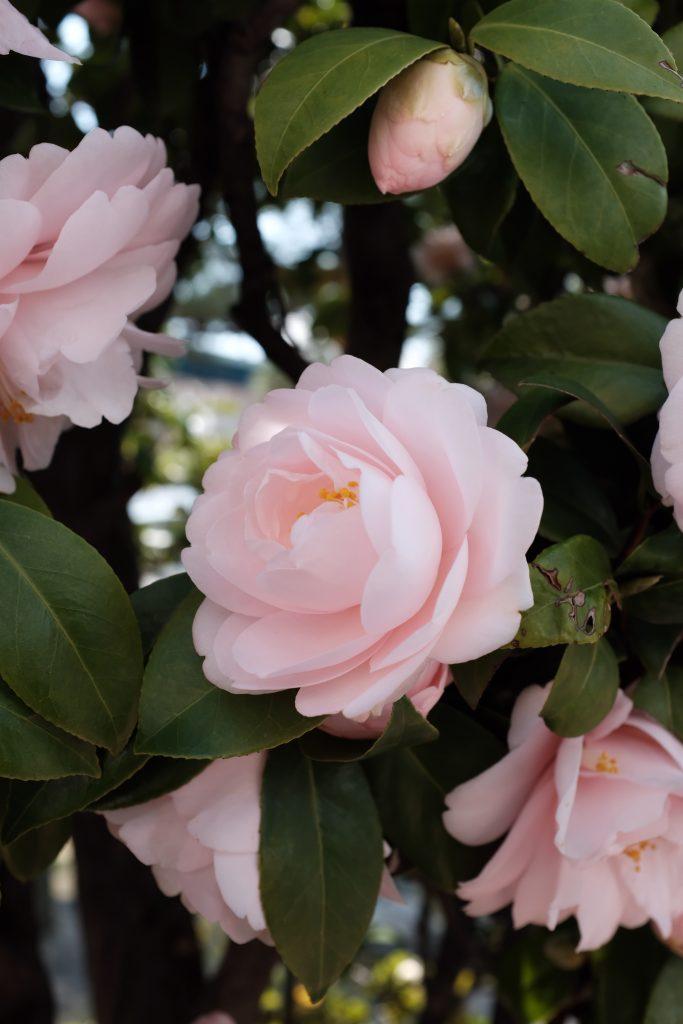 ukrasni-cvetni-grmovi